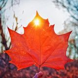 Fall color Maple leaf 2 Royalty Free Stock Photos