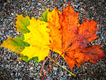 Fall color maple leaves closeup Royalty Free Stock Photos