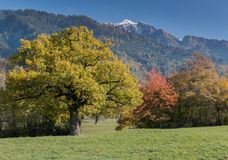 Fall color mountain landscape in the Maienfeld region of Switzerland with snowy peaks and colorful trees royalty free stock images