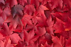Free Fall Color Nature Background Of Various Shades Of Red Maple Leaves Royalty Free Stock Photography - 159897247