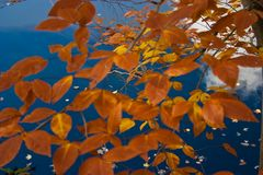 Fall color: Orange leaves fallen from tree floating in water with blue sky reflected in water. Orange leaves fallen from tree floating in water with blue sky royalty free stock image