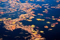 Fall Color Pattern Of Water Lily Leaves Royalty Free Stock Photos
