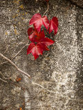 Fall Color On Red Ivy Leaf Stock Photo