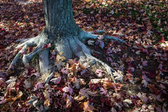 Fall color roots royalty free stock image