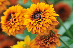 Fall color, rudbeckia flowers Stock Photo