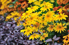 Fall color, rudbeckia flowers Royalty Free Stock Images