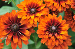 Fall color, rudbeckia flowers Stock Image