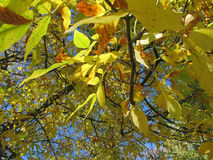 Fall Color on Trees. This leaves on a Maple tree changing color during the fall here in Wisconsin  to yellow and orange Royalty Free Stock Photo