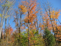 Fall color trees Royalty Free Stock Image