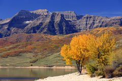 Golden fall color in the Utah mountains. Royalty Free Stock Photography