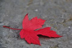 Fall color in Whistler, BC, Canada Royalty Free Stock Image
