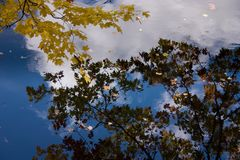 Fall color: Yellow leaves of a tree reflected in the still water of a lake with blue sky and clouds in the background. Yellow leaves of a tree which are royalty free stock photography