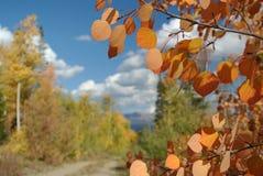 Aspen Leaves, Colorado. Fall colored Aspen Leaves in Colorado stock photos