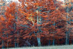 Fall colored beech forest stock photography
