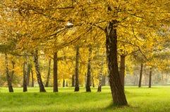Fall colored birch Stock Photo