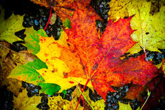 Fall colored foilage leaves on ground Royalty Free Stock Photography