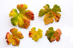 Fall colored grape leaves Stock Images