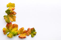 Fall colored grape leaves Stock Photos