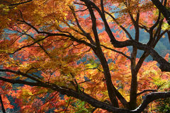 Fall colored Japanese maple tree leaves backlit by the autumn sun Stock Images