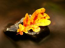 Fall colored leaf resting on a stone  with water flowing around it. A fall colored leaf resting on a stone  with water flowing around it. Yellow  orange symbol Stock Photography