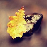 Fall colored leaf resting on a stone  with water flowing around it. A fall colored leaf resting on a stone  with water flowing around it. Yellow  orange symbol Stock Images