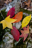 Fall colored leaves. Multicolored leaves show the beauty of fall Royalty Free Stock Images