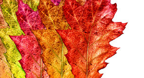 Fall colored leaves Stock Images
