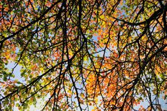 Fall colored leaves background Royalty Free Stock Image