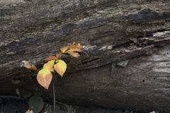 Fall colored leaves next to rotting log. A small sapling growing next to a fallen tree with fall colored leaves making a contrast of the yellow leaves and the royalty free stock photo