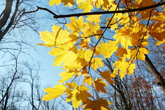 Fall colored leaves tree Royalty Free Stock Images