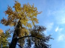 Large golden tree against blue sky. Fall colored leaves and tree trunk against bright blue sky Stock Photo