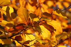 Fall colored leaves Royalty Free Stock Images