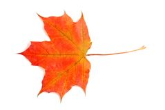 Fall colored maple leaf Royalty Free Stock Photo