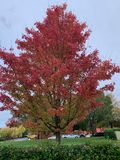 Fall colored maple leaves with a blue sky background royalty free stock photos