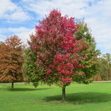 Fall colored tree. Colors of fall showing themselves in the trees Royalty Free Stock Photos