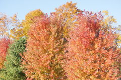 Fall colored trees. Royalty Free Stock Photo