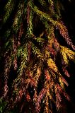 Fall colorful branches of coniferous tree Cryptomeria Japonica, also called Japanese Sugi Pine, Japanese Red-Cedar or simply Sugi,. Dark background, natural Stock Photography
