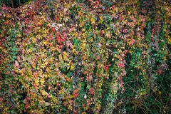 Fall colorful green, red and yellow leaves background. Royalty Free Stock Images