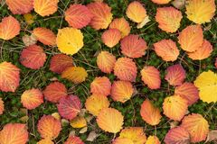 Fall colorful yellow red autumn leaves background. Fall colorful yellow red autumn leaves in forest close-up background texture royalty free stock photos