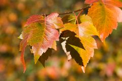 Fall colors. Fall leaves, close up stock image
