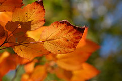 Fall Colors. Leaves turning orange as fall is coming Stock Image