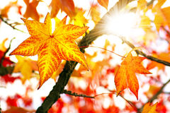Fall Colors. Nature background of bright and colorful Fall leaves Royalty Free Stock Images