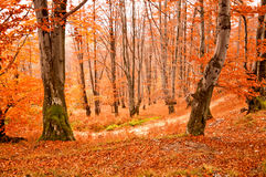 Fall colors. Autumn has come in the forest Royalty Free Stock Photo