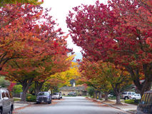Fall colors. Trees with red leaves of fall Stock Image