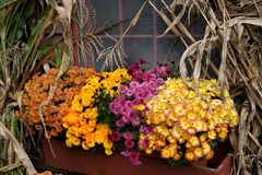 Fall colors. Mums, daisies and corn stalks create a colorful Fall collection Stock Photography