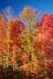 Fall Colors. Brightly colored trees in the fall Stock Photography
