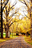 Fall Colors. ~ golden elm trees in a city park, with a winding road leading the way royalty free stock photos