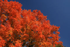 Fall colors. Tree with fiery red colors of autumn Royalty Free Stock Photos