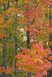 Fall colors. As seen in forest trees Stock Photography