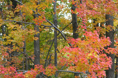 Fall colors. As seen in forest trees Royalty Free Stock Photos